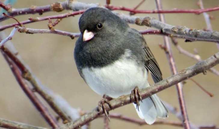 Photo of Dark-eyed Junco by Deb Crouse